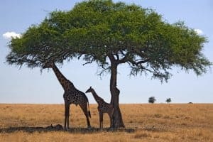 Two giraffes sheltering under a large tree